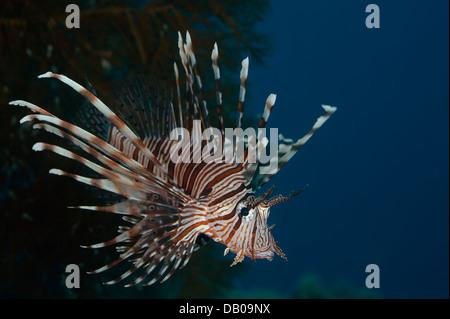 Hungrige Rotfeuerfische greift kleiner Fischer während der Jagd. Es breitet sich giftige Stacheln, die Beute zu - Stockfoto