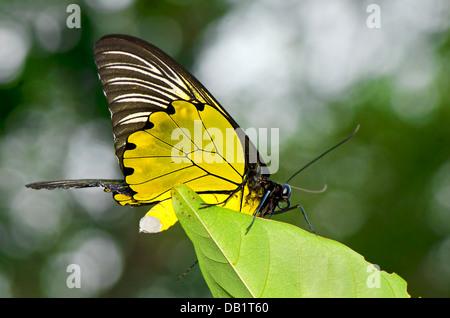 Gelbe birdwing - Stockfoto