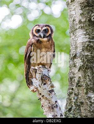 Braune Holz-Eule (Strix Leptogrammica) thront auf einem Baum. Auch bekannt als malaysische Holz Eule. - Stockfoto
