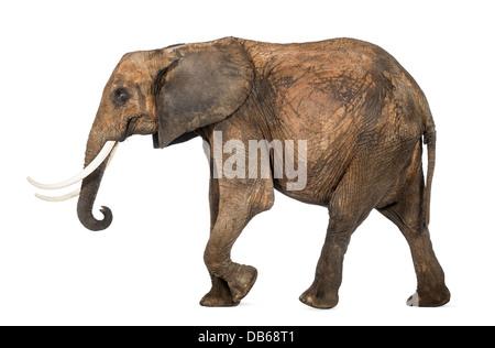 Seitenansicht eines afrikanischen Elefanten, Loxodonta Africana, Wandern auf weißen Hintergrund - Stockfoto
