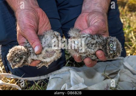 Vogel-Ringer halten zwei beringt Steinkauz (Athene Noctua) Nestlingszeit beringt mit Metallring am Bein