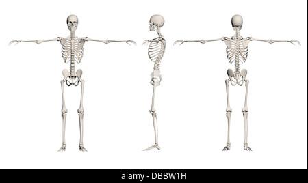 Sicht nach hinten stehende Skelett des menschlichen Körpers zurück ...