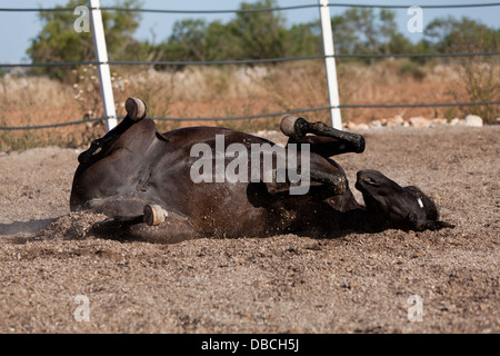 Caballo de Pura Raza Menorquina Prm Pferd im freien Rollen auf Boden - Stockfoto