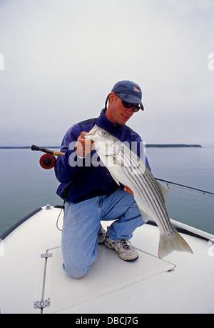 Mann hält einen gestreiften Baß oder Striper (Morone Inselbogens) erwischt beim Fliegenfischen in der Nähe von Chatham - Stockfoto
