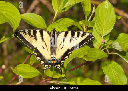 Kanadische Tiger Schwalbenschwanz Schmetterling (Papilio Canadensis) thront auf einem Strauch rot-Osier Hartriegel (Cornus Sericea), Wagner Moor Stockfoto