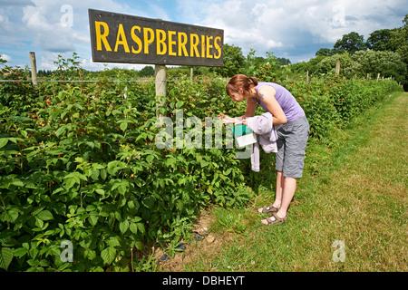 Eine Frau, die Kommissionierung reifer Himbeeren auf einer Obstplantage im Sommer. - Stockfoto