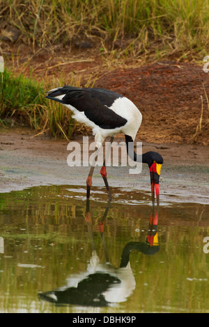 Gesattelt-billed Storch Fütterung am Teich. - Stockfoto