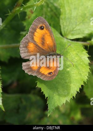 Gatekeeper oder Hecke braun Schmetterling (Pyronia Tithonus) posiert mit offenen Flügeln auf einem Blatt und in - Stockfoto