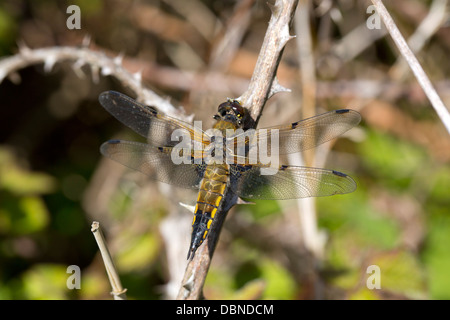 Vier Spotted Chaser; Libellula Quadrimaculata; Libelle; Cornwall; UK - Stockfoto