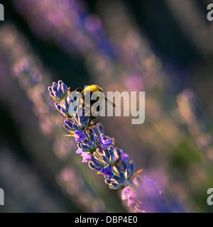 Hummel in Lavendel Feld, Insel Hvar, Kroatien, Europa - Stockfoto