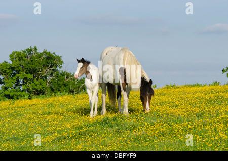 Stute ist Cob x Appaloosa, Fohlen Stute gekreuzt mit Welsh Sektion D, zwei Monate alt ist. Im Bereich der Butterblumen - Stockfoto