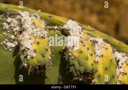 Schmierlaus (Dactylopius Coccus) auf Feigenkaktus (Opuntia Ficus-Indica) Andalusien, Spanien. - Stockfoto