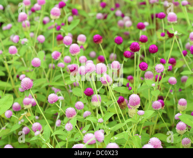 Globe Amaranth oder Gomphrena Globosa Blume - Stockfoto