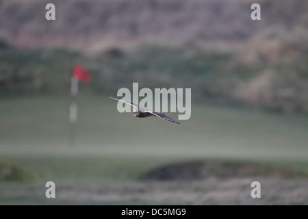 Sumpfohreule, Asio Flammeus, fliegen über Golf grün - Stockfoto
