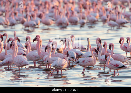 Lesser Flamingos (Phoenicopterus minor), Lagune von Walvis Bay, Namibia, Afrika, Mai, 2013 - Stockfoto
