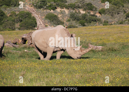 Weißes Nashorn - Stockfoto