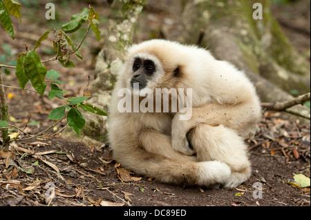 Weiße Handed Gibbon aka Lar Gibbon (Hylobates Lar), Monkeyland, Plettenberg Bay, Südafrika - Stockfoto