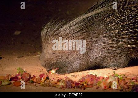 Stachelschwein genießt Schrott Essen - Stockfoto