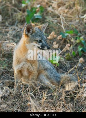 Santa Cruz Island Fuchs (Urocyon Littoralis) WILD, endemisch zu Kalifornien Kanalinseln, stark gefährdet - Stockfoto