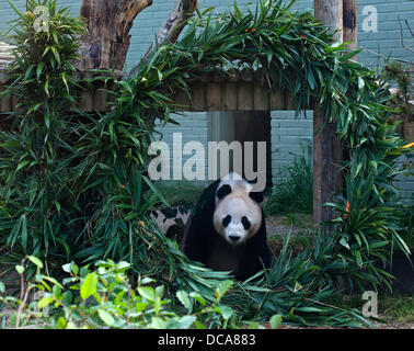 Edinburgh Zoo, 14. August 2013 Yang Guang, männliche Riesenpanda Edinburgh Zoo, 10. Geburtstag mit Bambus-Struktur - Stockfoto