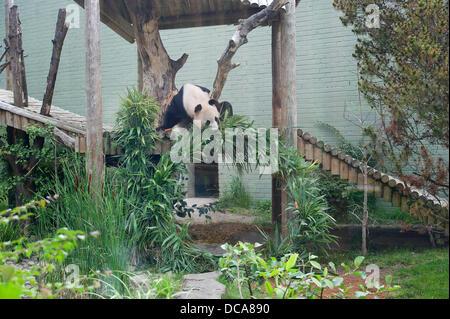 Edinburgh, UK. 14. August 2013. (Durch das Glas gedreht) Yang Guang, Edinburgh Zoo männlichen Panda wird 10 und - Stockfoto