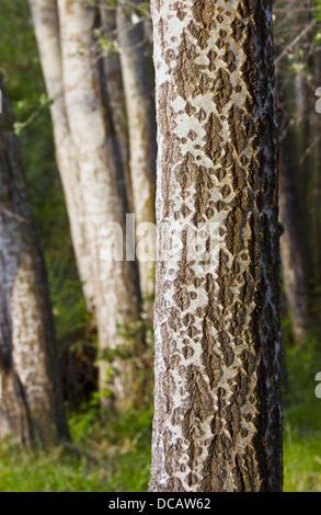 Silberpappel (Populus Alba) - Stockfoto