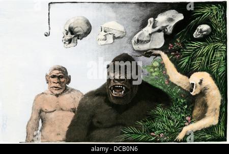 Vergleich der Schädel eines Menschen (Homo), Pithecanthropus erectus, Gorilla, Gibbon, C. 1900. Handcolorierte halftone - Stockfoto