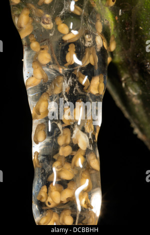 Eiern von einem kleinen Treefrog (Dendropsophus SP.) wird über einen Teich Regenwald in Ecuador - Stockfoto