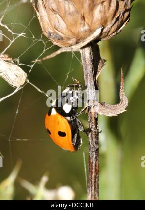 Sieben-Punkt-Marienkäfer oder gefleckte Marienkäfer (Coccinella Septempunctata) Nahaufnahme - Stockfoto
