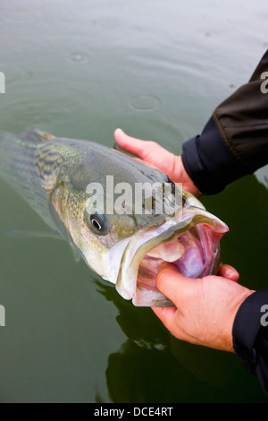 Hände halten Striped Bass; Boston Massachusetts, usa - Stockfoto