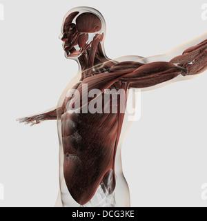 Anatomie des männlichen Muskeln im Oberkörper, Seitenansicht. - Stockfoto