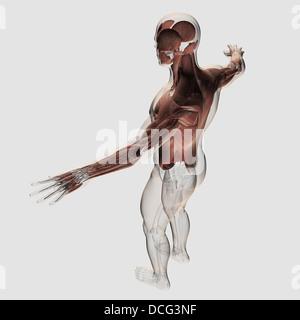 Anatomie des männlichen Muskeln im Oberkörper, hintere Ansicht. - Stockfoto