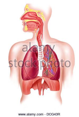 Anatomie Atmung Stockfoto, Bild: 18202682 - Alamy
