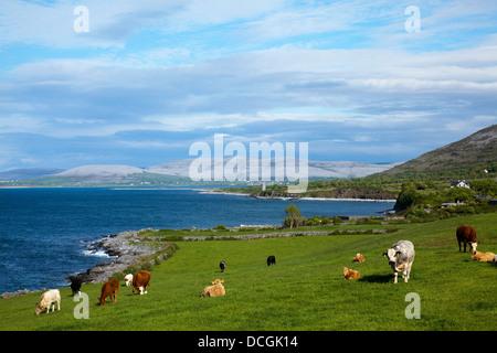 Kühe an der Küste; Ballyvaghan, County Clare, Irland - Stockfoto