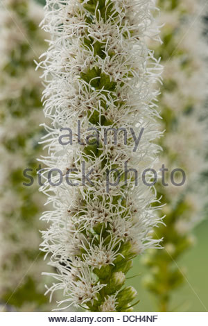 liatris spicata dichten blazing star seedheads stockfoto bild 163355999 alamy. Black Bedroom Furniture Sets. Home Design Ideas