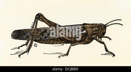Nordamerikanischen Heuschrecke, schistocerca Americana. Hand - farbige Holzschnitt - Stockfoto