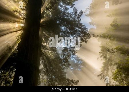 Strahlen der Sonne durch Wolken in einem Redwood-Wald schaffen außergewöhnliche Licht, Kanäle und Reflexionen - Stockfoto