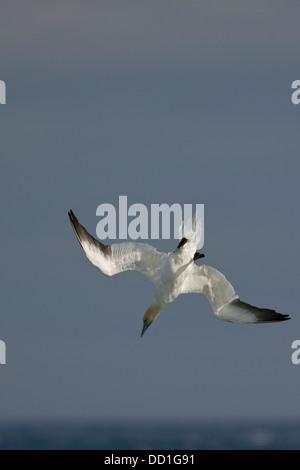Northern gannet, fliegen, Flug, Nase-dive, Sturzflug, Basstölpel, Baßtölpel, Flug, Tölpel, Phoca vitulina, Morus - Stockfoto