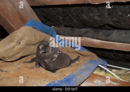 europ ische baummarder baby baummarder tierbaby baum marder edelmarder edel marder. Black Bedroom Furniture Sets. Home Design Ideas