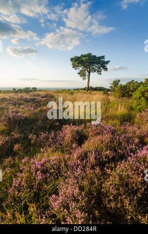 Nachtstück in vier Grafschaften Zifferblatt auf Ashdown Forest, Sussex mit einsamen Föhren, Ginster und schöne Heide - Stockfoto