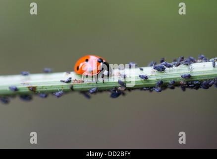 Sieben vor Ort Marienkäfer (Coccinella Septempunctata) Ernte Blackfly (schwarze Bohnen-Blattlaus - Aphis Fabae) - Stockfoto