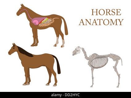 Zoologie, Anatomie des Pferdes, Querschnitt Muskeln und Huf ...