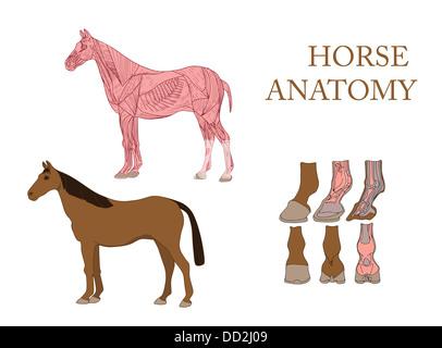 Zoologie, Anatomie des Pferdes, Querschnitt und Skelett Stockfoto ...