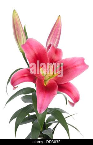 Große rosa Lilien isoliert auf weißem Hintergrund - Stockfoto