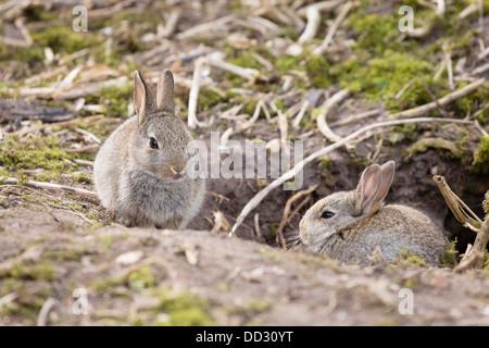 Zwei Baby europäischen Wildkaninchen sitzen außerhalb ihrer Höhle in einen Kaninchenbau in Großbritannien - Stockfoto