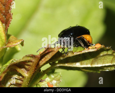 Schwangere Frauen Blau Mint Käfer (Chrysolina Coerulans) - Stockfoto