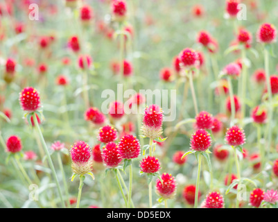 Globe amaranth - Stockfoto