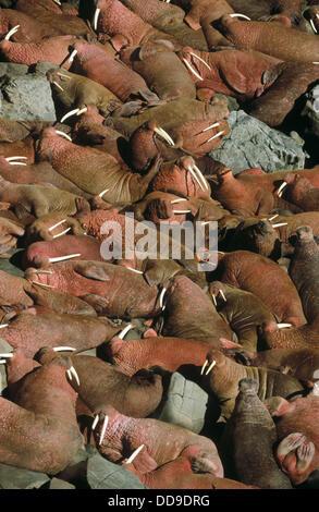 Walross (Odobenus Rosmarus) Haulout der männlichen Walross ´Bachelor Group´ Runde Insel. Walrus Island. Alaska. - Stockfoto