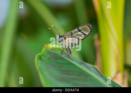 Glasswing Schmetterling - Morgane Greta Oto - auf grünen Blatt sitzen - Stockfoto