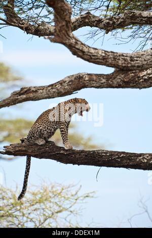 Ein Leopard (Panthera Pardus) am Baum sitzen und Gähnen im Serengeti Nationalpark, Tansania, Afrika - Stockfoto
